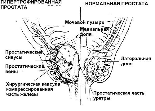prostata-anotomiya