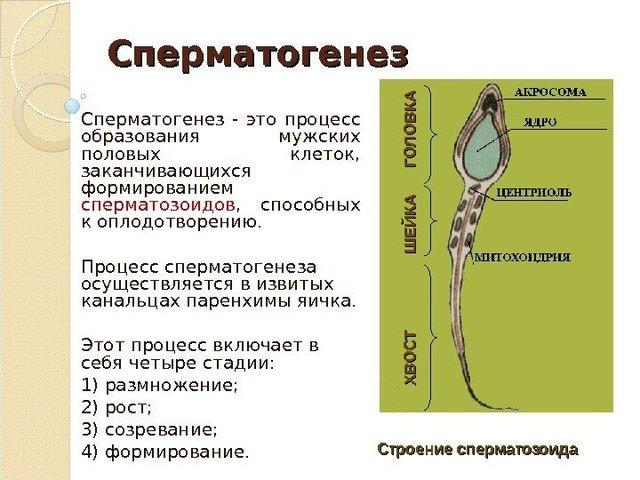 стадии сперматогенеза