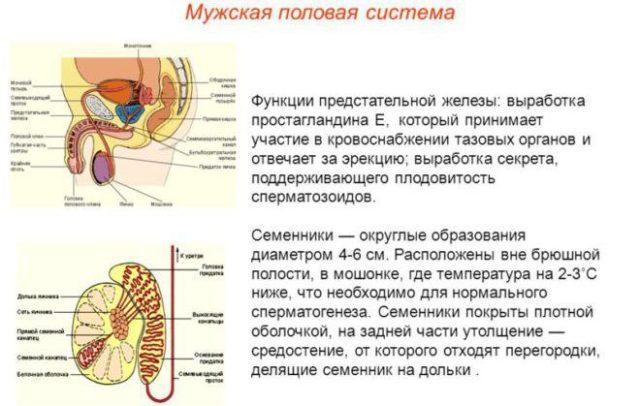 предстательная железа функции